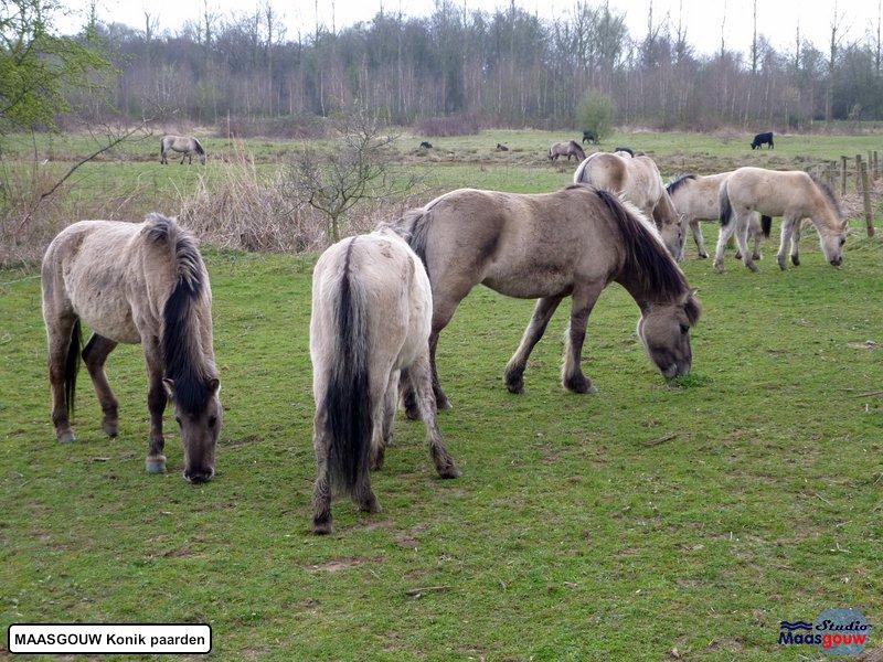 maasgouw-konik-20110307002