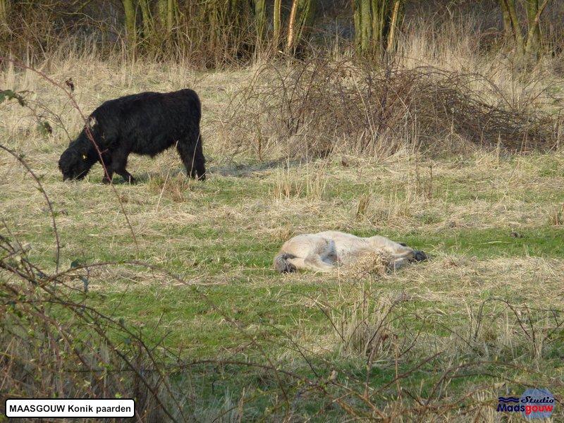 maasgouw-konik-20110323023