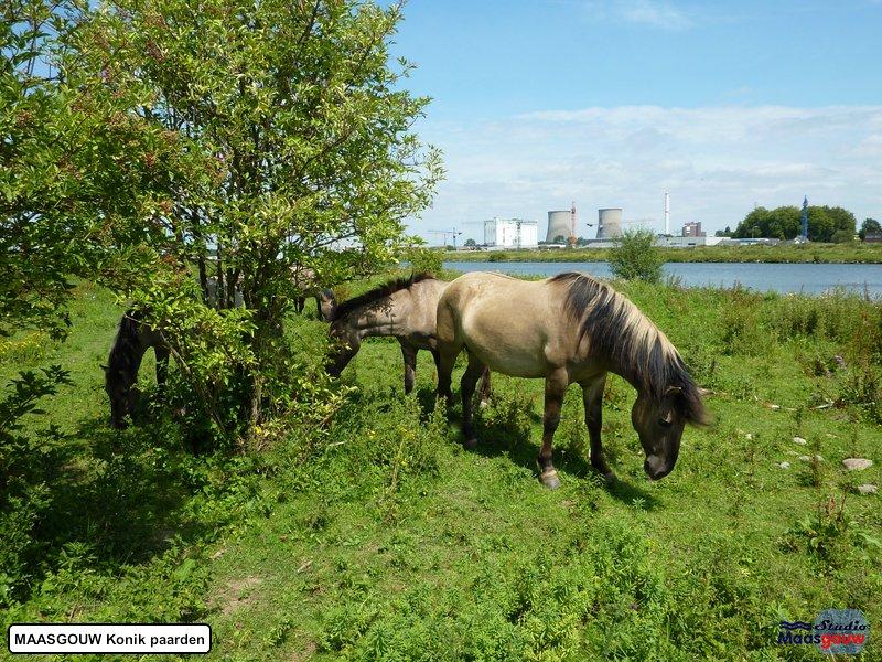 maasgouw-konik-20110703013