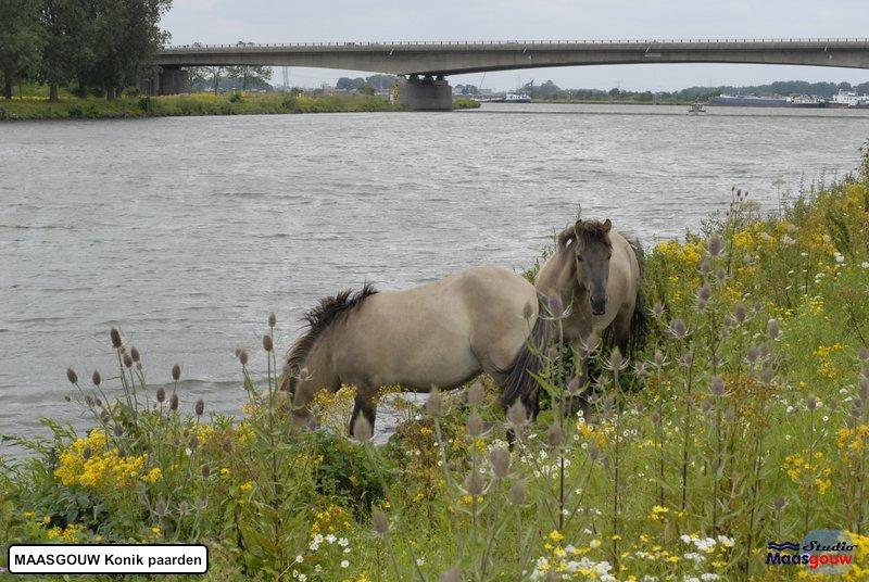 maasgouw-konik-20110716018