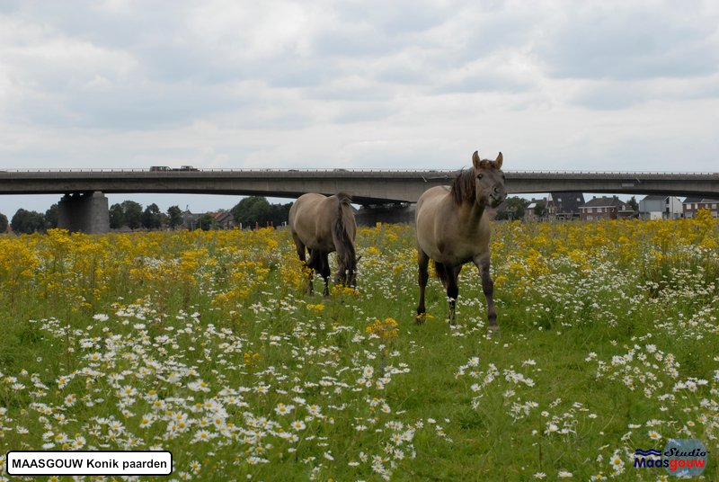 maasgouw-konik-20110716232